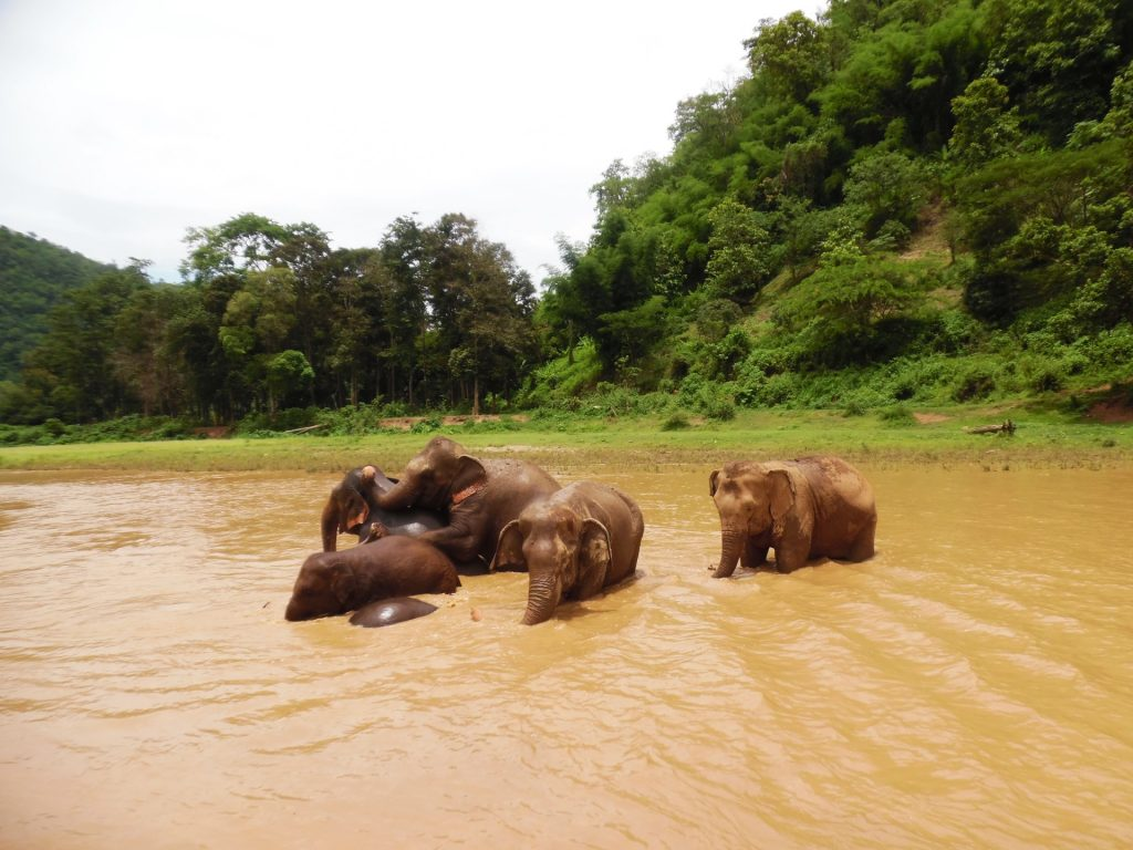 Elephants bathing in a river in Chiang Mai - 3 weeks in Thailand