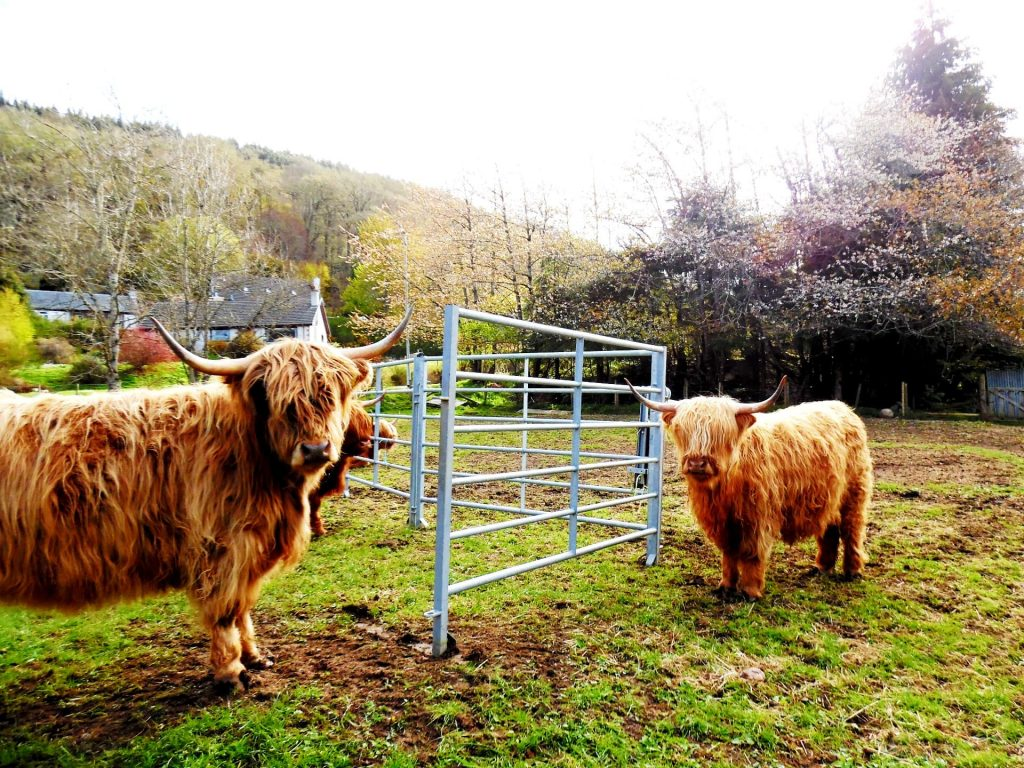 Highland Cattle at Invermoriston - A great stop on a 7 day motorhome itinerary for Scotland